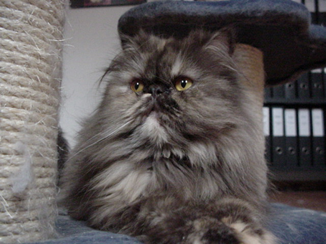 Black Tortie Persian Cat Persian